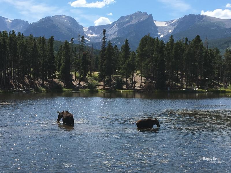Rocky Mountain National Park Sprague Lake Moose - mama and baby